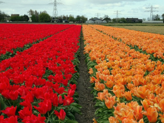 De Tulperij Bulb Farm Fields