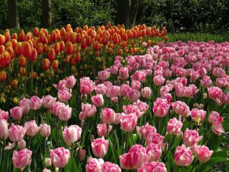 Multi-Row Tulips