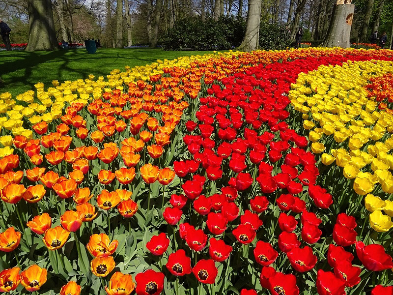 Multi-Colored Row Tulips