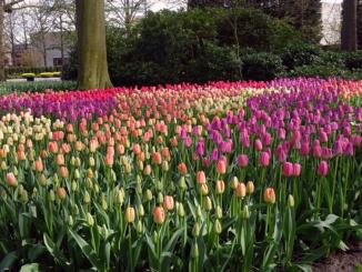 Multi-Colored Tulips
