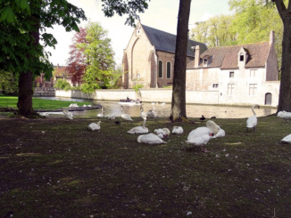 The famous Swans of Brugge