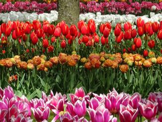 Multi-Colored Row Tulips