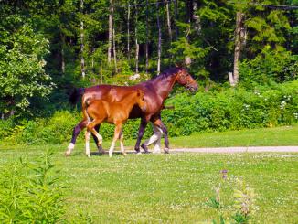 Finnish Horses
