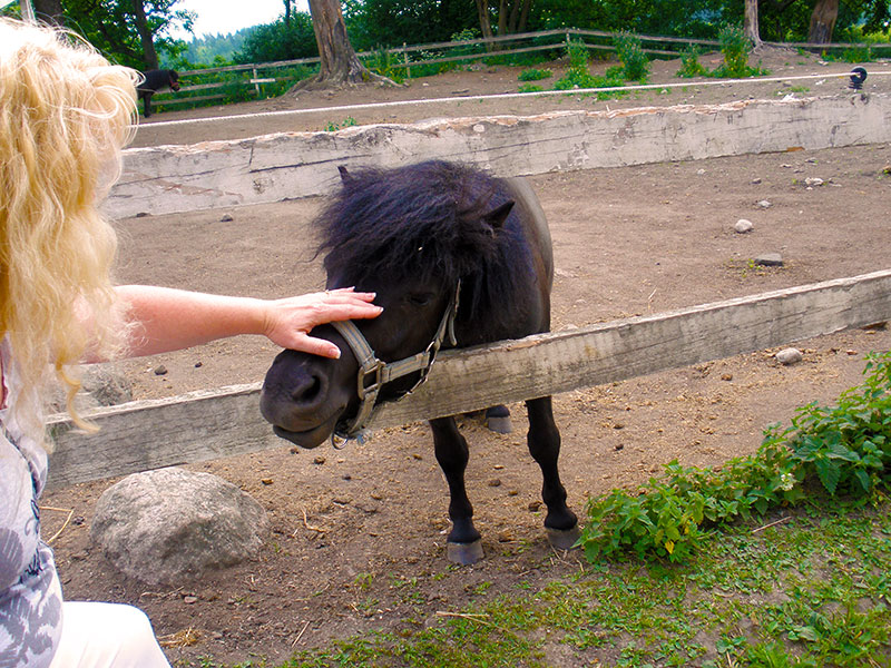 Small Finnish Horse