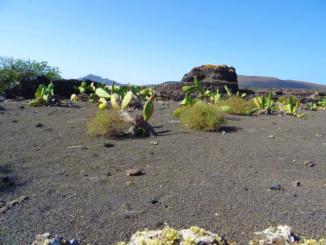 The cactus-pear plant.