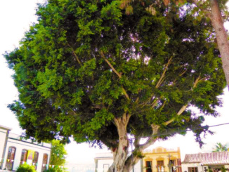 Nice tree in front of the basilica.