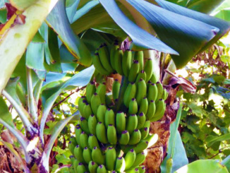 The banana plant is known to be the largest of the herbaceous flowering plants.