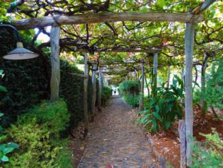 Grape vines of Adega da Quinta.