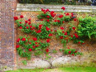 A lovely climbing rose at the entrance to the Rose Garden